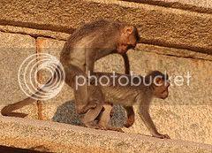Majmuni Gazda
