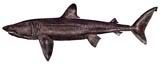 Cetorhinus maximus