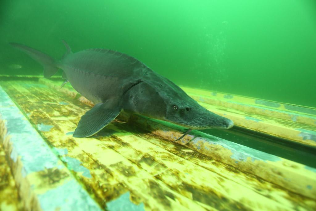 l'approche magique de la faune en CCR : les esturgeons de Roussay FLP_4685_zpsa74c6377