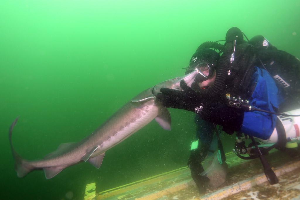 l'approche magique de la faune en CCR : les esturgeons de Roussay FLP_4692copie2_zps05d71b1f