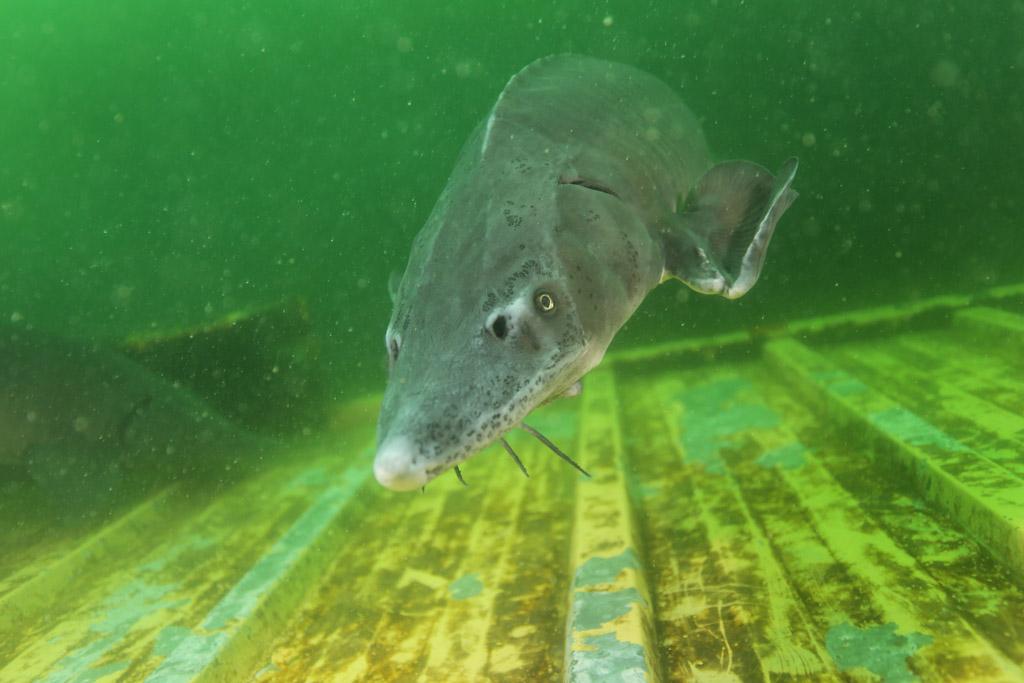 l'approche magique de la faune en CCR : les esturgeons de Roussay FLP_4741_zpse62366e8