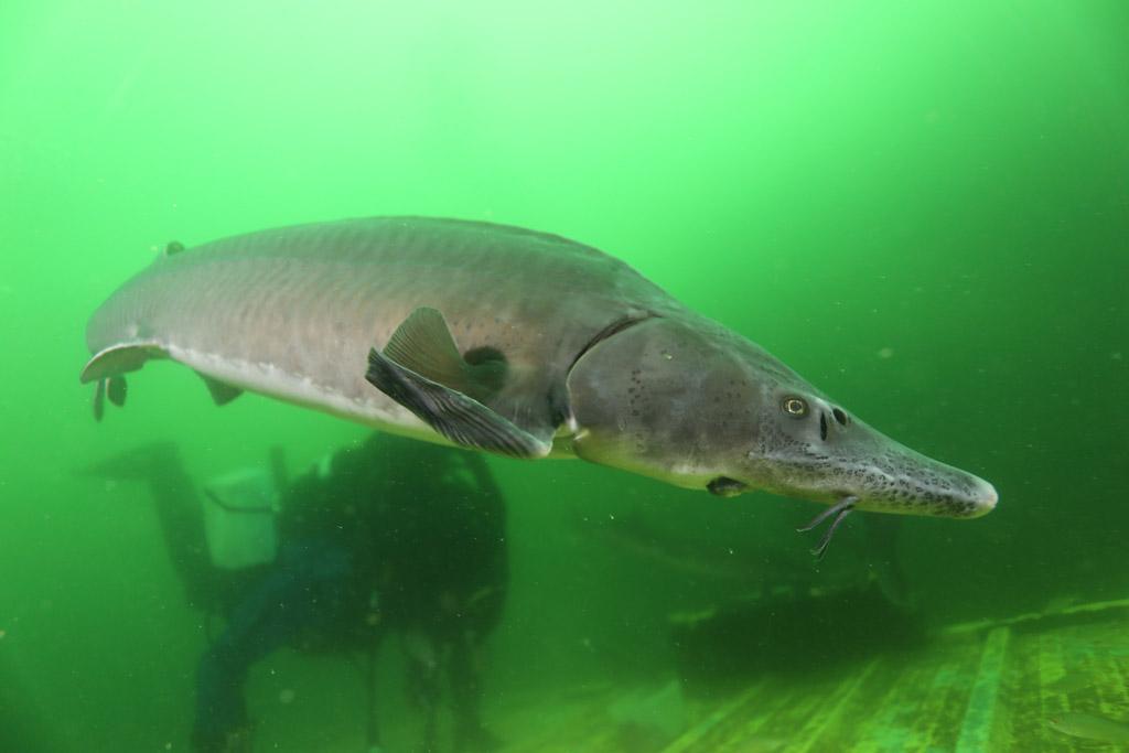 l'approche magique de la faune en CCR : les esturgeons de Roussay FLP_4790_zpsae6d22c9