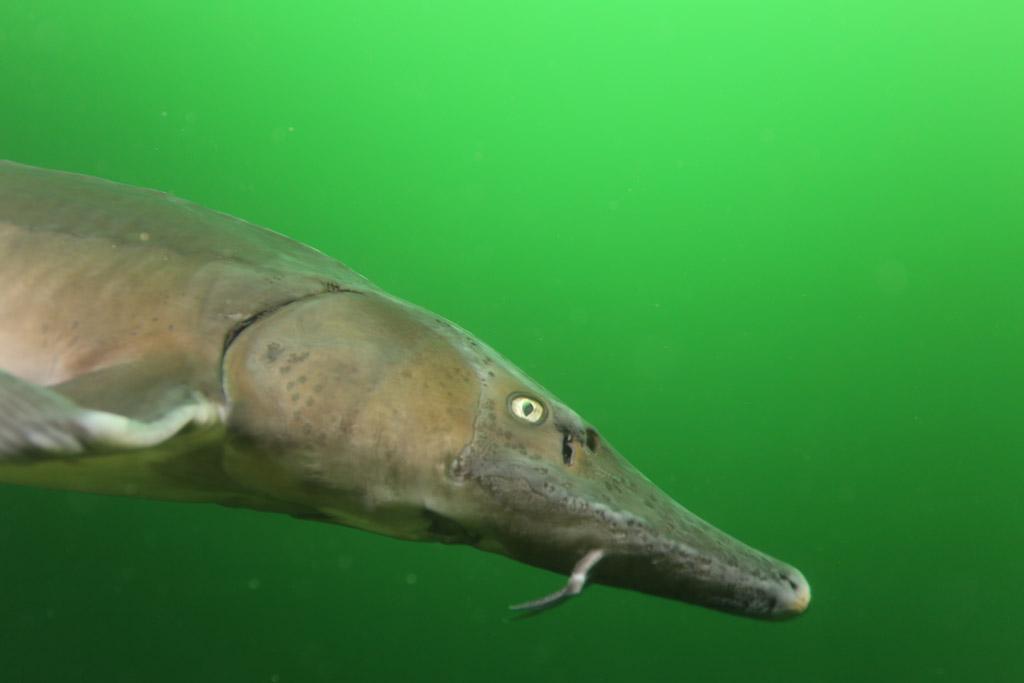 l'approche magique de la faune en CCR : les esturgeons de Roussay FLP_4807_zpse9736384