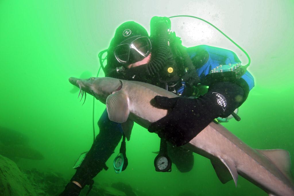 l'approche magique de la faune en CCR : les esturgeons de Roussay FLP_5029copie_zps9e29b29a