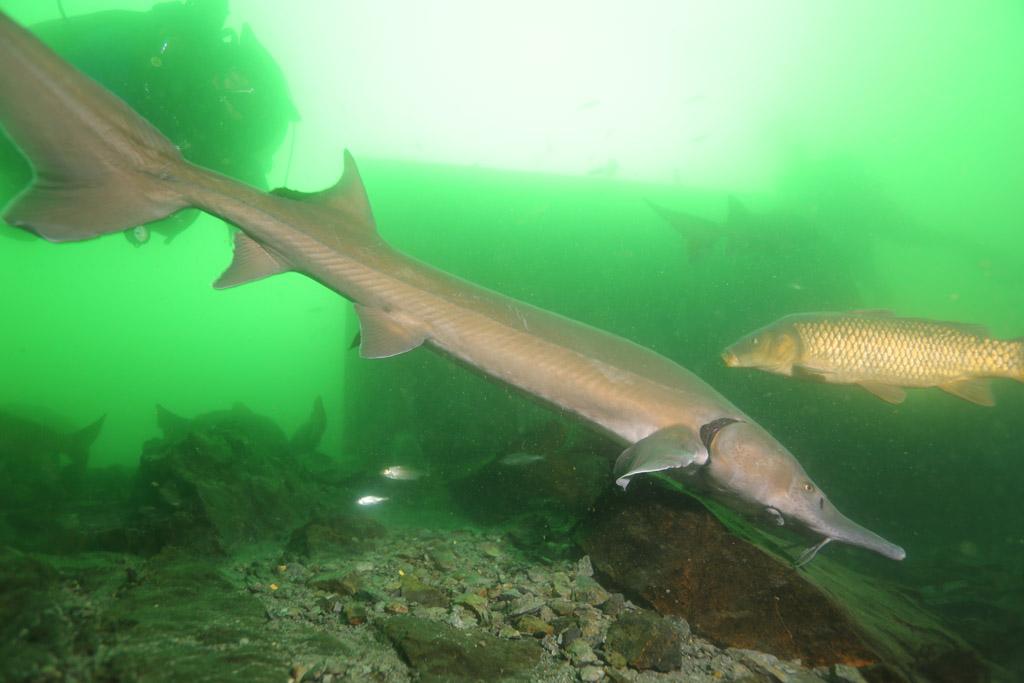 l'approche magique de la faune en CCR : les esturgeons de Roussay FLP_5040_zps314d312e