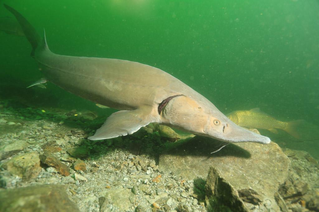 l'approche magique de la faune en CCR : les esturgeons de Roussay FLP_5088_zps24fe2315