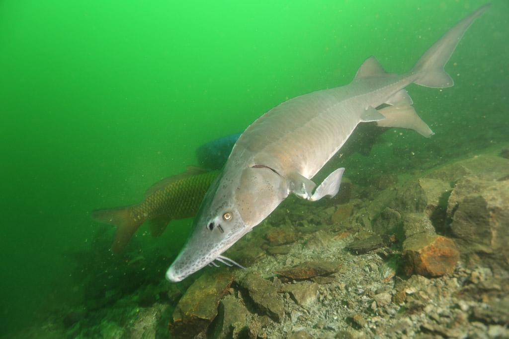 l'approche magique de la faune en CCR : les esturgeons de Roussay FLP_5096_zpsb5628504