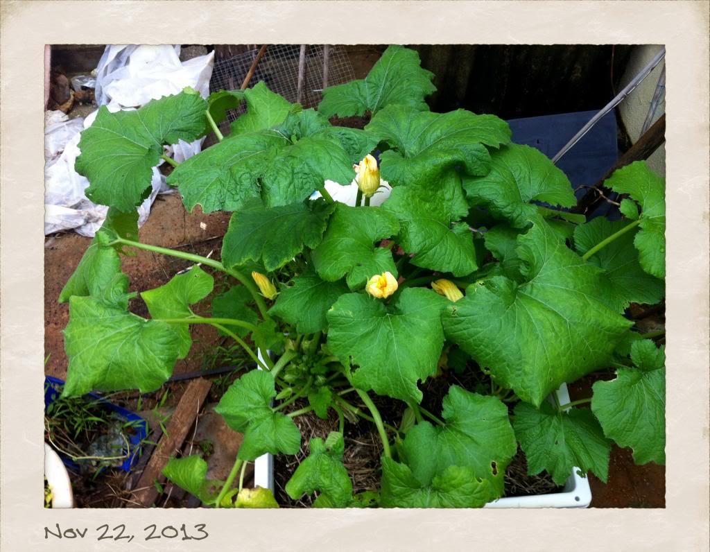 Female zucchini flowers won't fully open Photo3