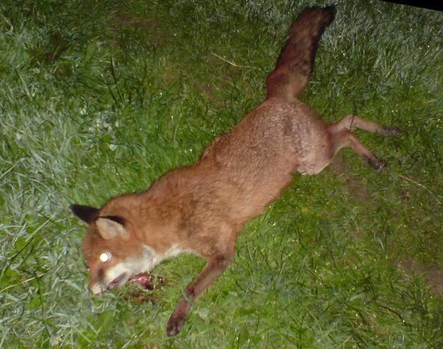 Another lamb killer.............. DSC00129