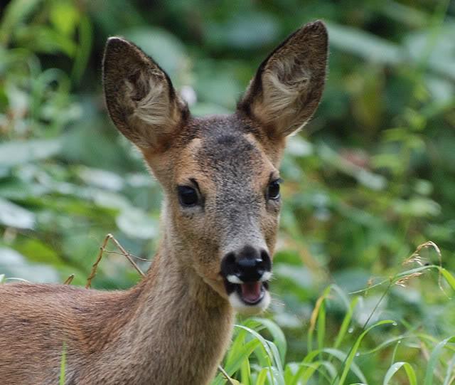 Deer visiting my garden................ DSC_0001-7