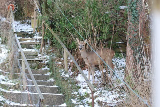 Deer visiting my garden................ DSC_0006-6