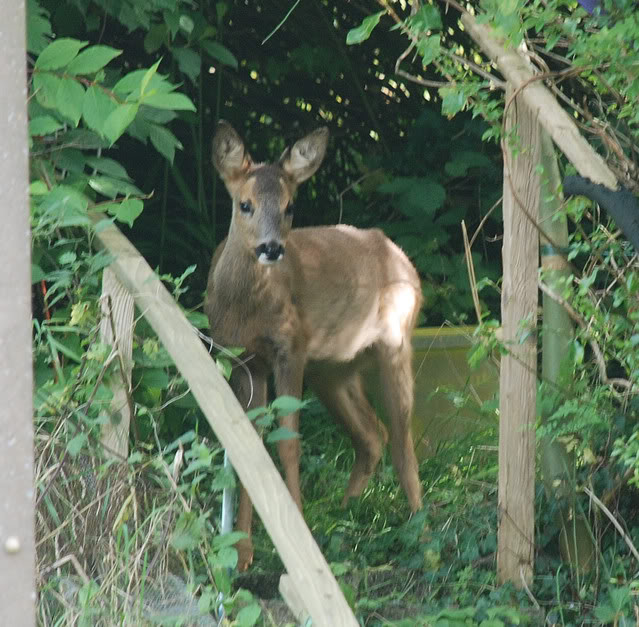 Deer visiting my garden................ DSC_0012-8