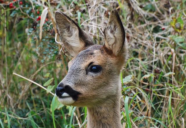 Deer visiting my garden................ DSC_0015-4