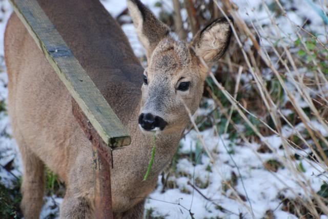 Deer visiting my garden................ DSC_0024-3