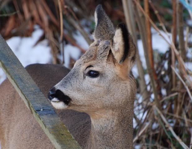 Deer visiting my garden................ DSC_0031-7