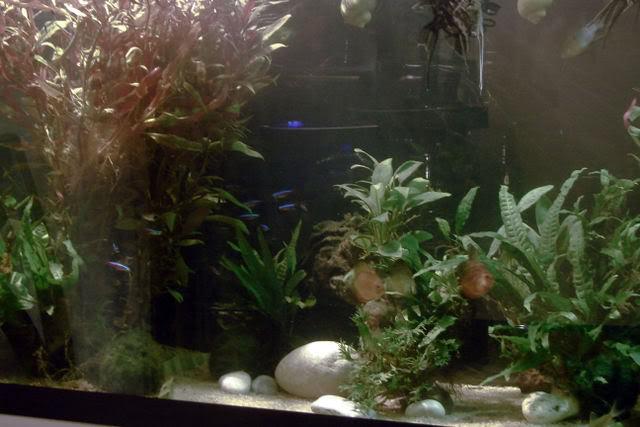 acuario plantado y peces disco ACERCAMIENTO1
