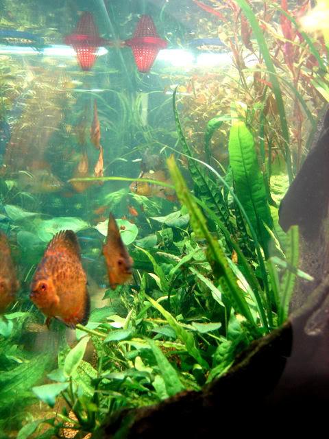 acuario plantado y peces disco DELADO1