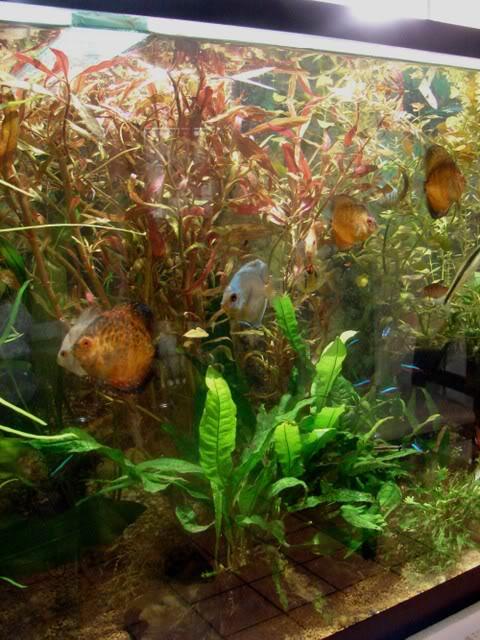 acuario plantado y peces disco Peces