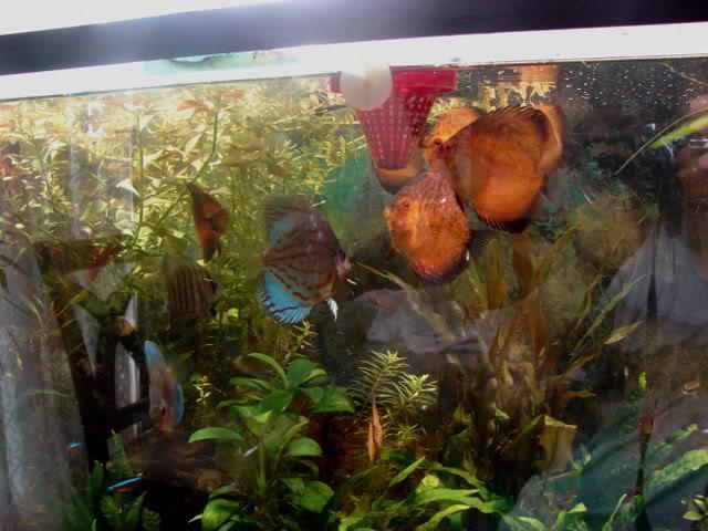 acuario plantado y peces disco Tendiscus