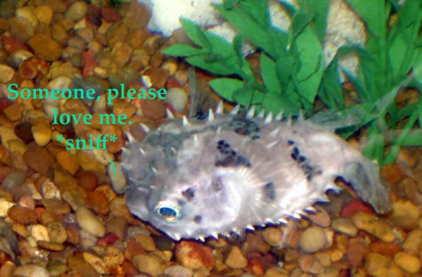 Free Cyclichthys orbicularis (Birdbeak Burrfish)Long Island, NY Burrfishpleaseloveme