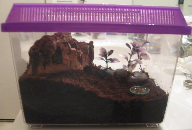 acanthoscurria brocklehursti IMG_0877-1