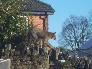 saw this Fox out in the afternoon 2010013
