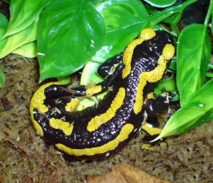 Salamanders Salamandra