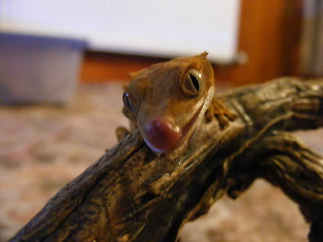 looking for my perfect lizard?can any one help and surgest!! Korma3