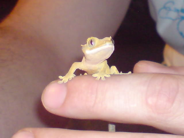looking for my perfect lizard?can any one help and surgest!! Crest5