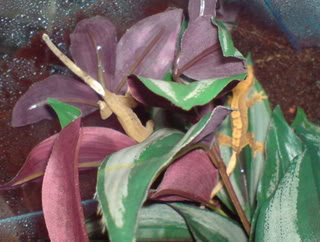 looking for my perfect lizard?can any one help and surgest!! Mycresties