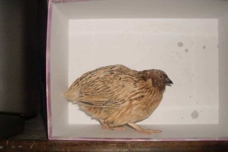 my new quails ( some pics of there feet may upset people) Newquails001
