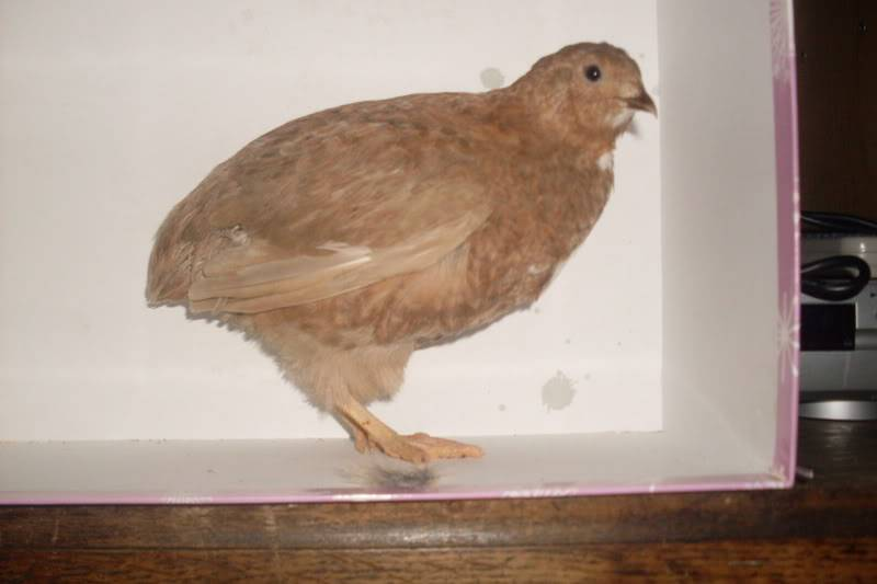 my new quails ( some pics of there feet may upset people) Newquails014