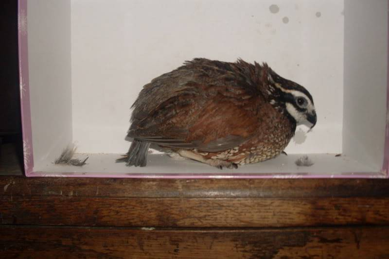 my new quails ( some pics of there feet may upset people) Newquails016