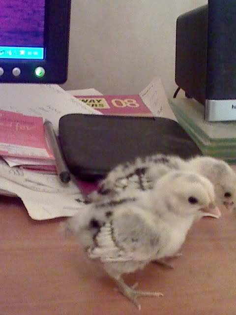 sebrights at 1 week old Sebrightchicks008