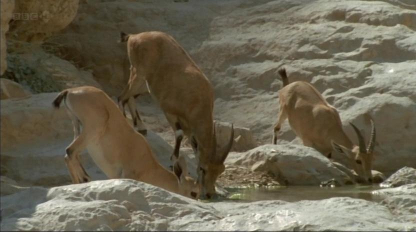 BBC - Wild Arabia (2013) Alexander Siddig WildArabia1-03