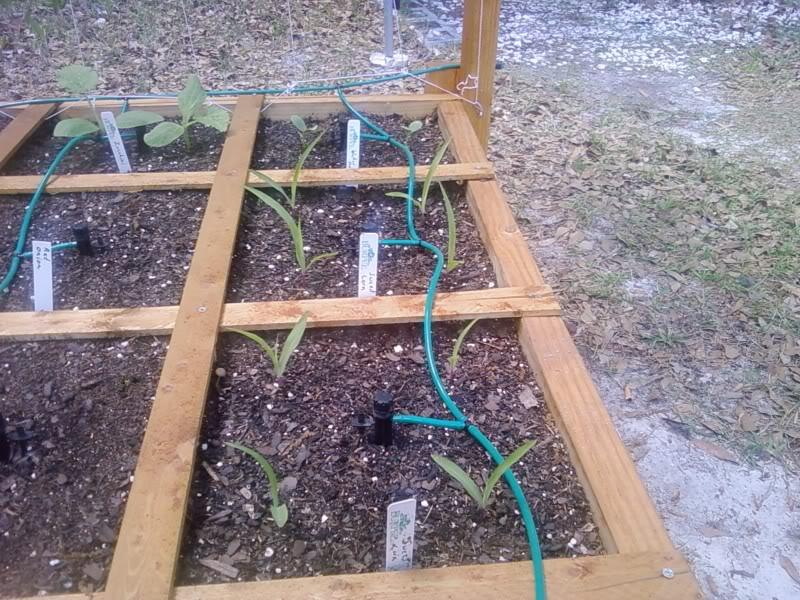 My Garden Pictures - Page 2 CornZucchiniWatermelon