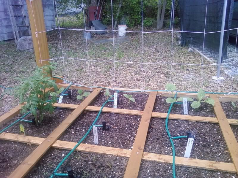 My Garden Pictures - Page 2 CucumbersSquashMrStripey