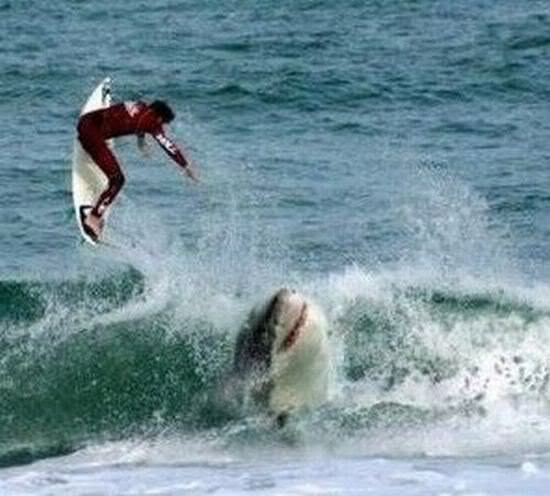 Great White Shark rescued on a Beach by Surfers AnimalThingsthatmakeyousayOHHHHHSheizer2