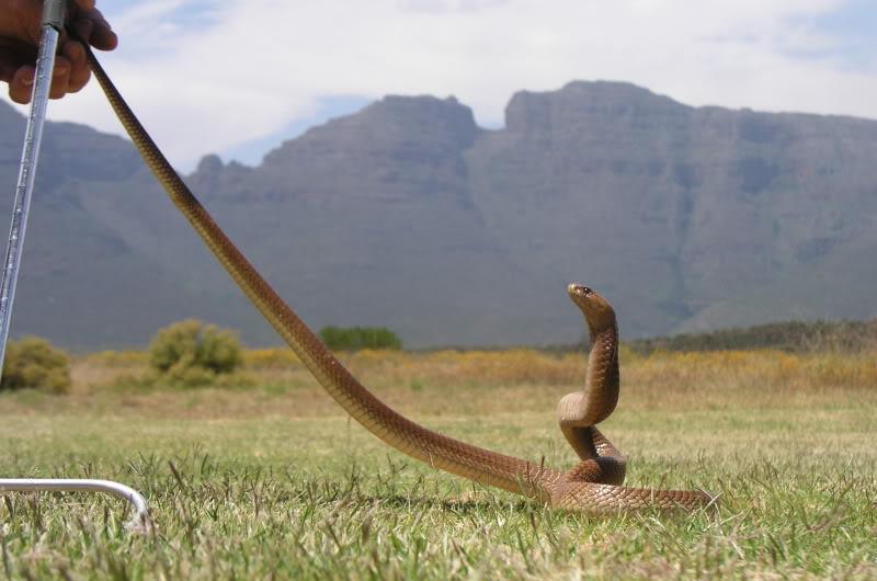 Cape Cobra (Naja nivea) Cobra75