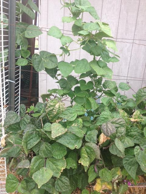 Purple Bush Bean question Photo_zps2c70ade0