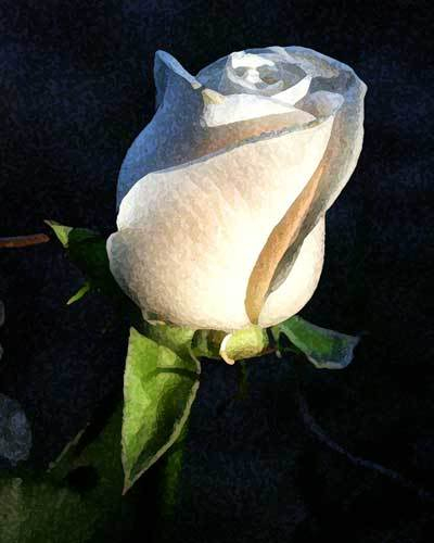 Rate the image above you Dark-white-rose