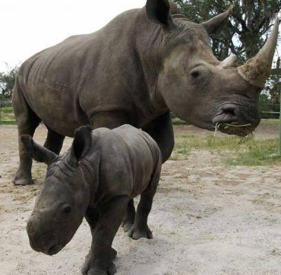 Territorio Salvaje - Portal Rinoceronte-negro