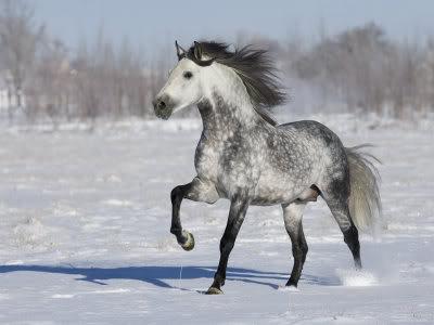 My horses :] 1162823Grey-Andalusian-Stallion-Tro