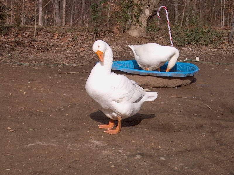 geese IM001025