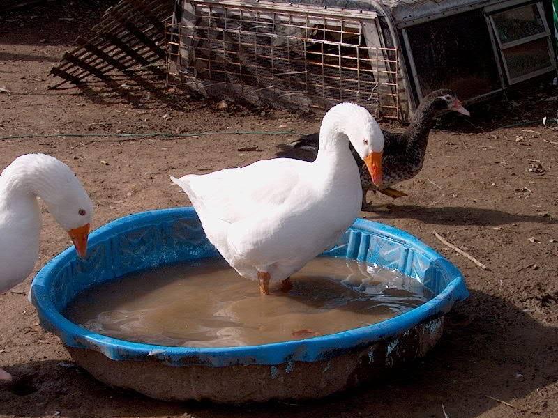 geese IM001028