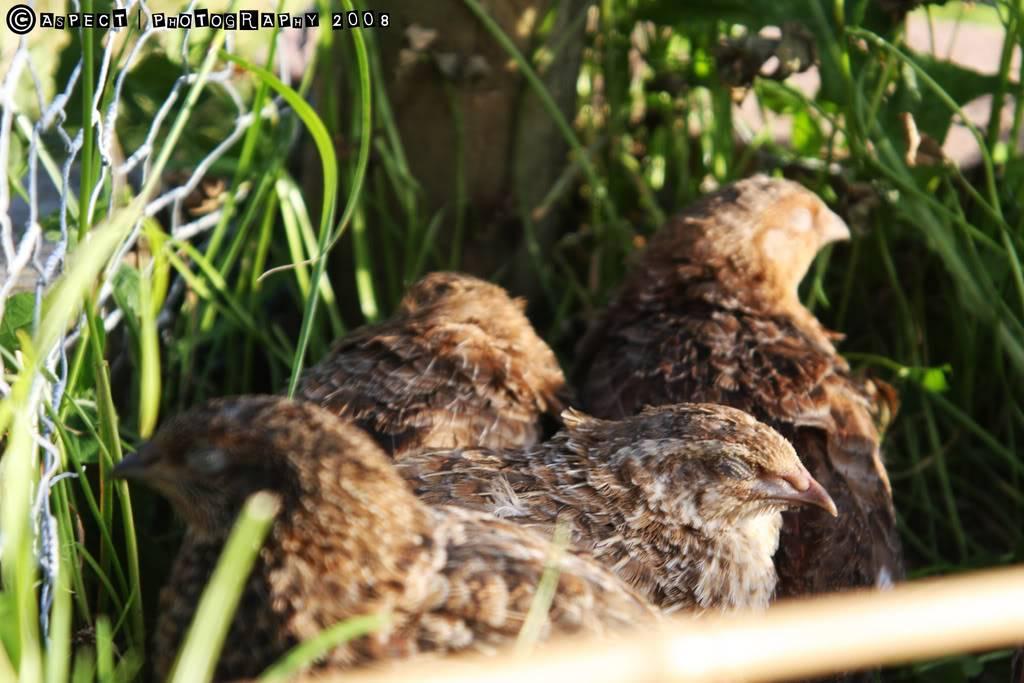 my quail 12-6