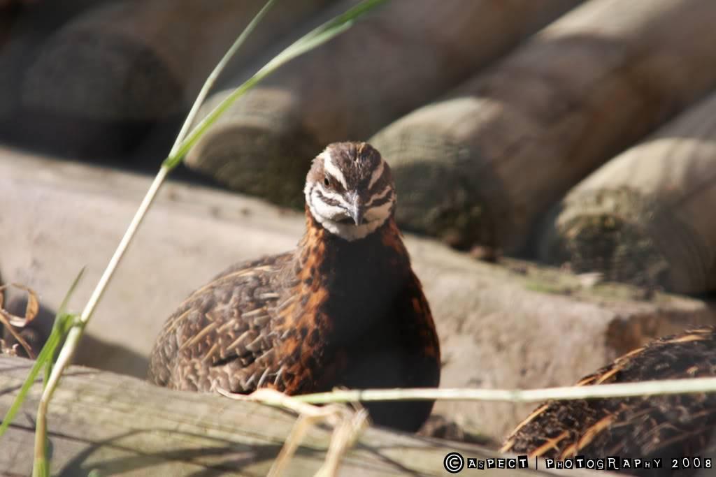 my quail 5-8