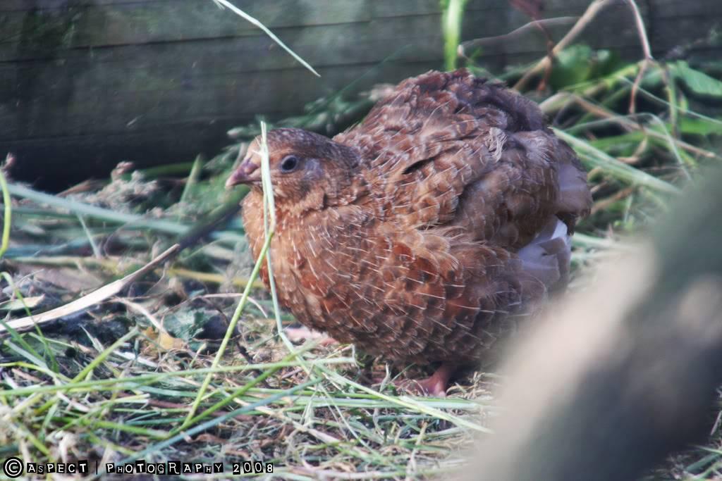 my quail 6-8