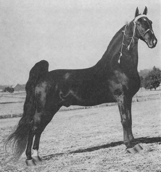 The BEST of Walking Horse Trivia! - Page 6 EbonyMasterpiece