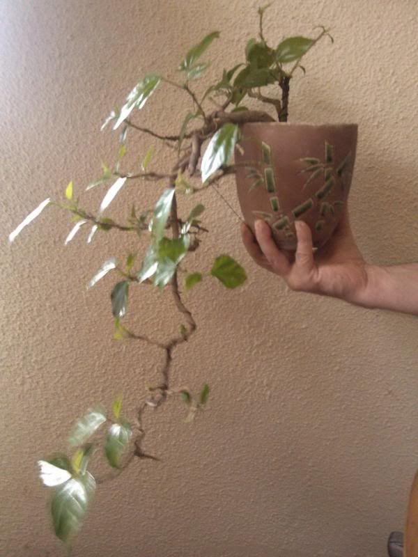Galeria plantelor mele... 10307006_681493678584927_991938937_n